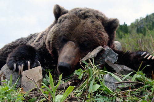 Interior Mountain Grizzly Hunts
